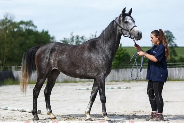 cheval arabe shagya